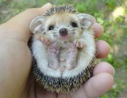 HedgeHogs...We used to see these in England.....aren't they the cutest?!  They were all over at the middle school.