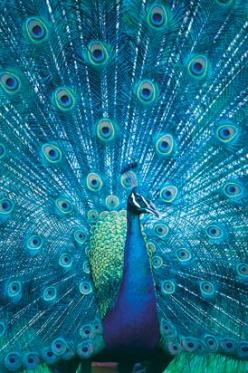 I think peacocks are stunning birds, but they absolutely scare me to death. photo by Jason Busch: Peacocks, Beautiful Blue, Color, Pretty Peacock, Beautiful Birds, Beautiful Peacock, Animal