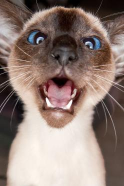 """If Simon sings that song, """"Blurred Lines"""", one more time, I'm gonna throttle him. ~ Houston Foodlovers: Animals, Siamese Cats, Meow, Pet, Funny, Crazy Cat, Kittens, Kitty"""