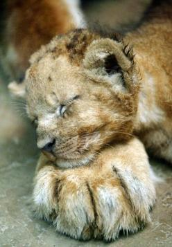 Lion cub. A one-month-old lion cub, Mello, lays his head on the paw of his mother Veni at Prigen Safari Park in Pasuruan, East Java, Indonesia. Picture: AP. via telegraph uk