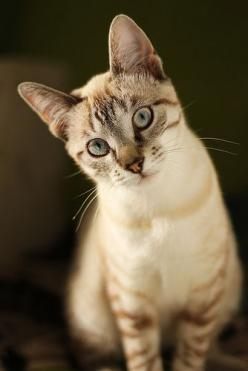 looks something like my cat only mine is part siamese and her eyes are bluer and crossed...she's beautiful.