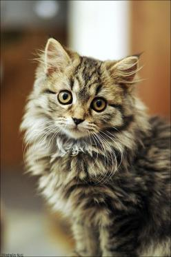 Maine Coon Cats, my favorite