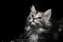 Maine Coon Kitten | Cattery Hayj You Coons | The Netherlands | www.kittentekoop.nl