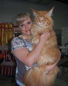 Maine Coon--what a beauty! This is a big Cat!: Maincoon, Big Cat, Maine Coons, Kitty Cat, Maine Coon Cats, Main Coon, Big Kitty, Mainecoon, Animal
