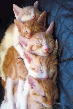 Nap Time ~ I love the way they are 'spooned' together, each one with its chin resting on the head of the one in front of it. SO funny!: Kitty Cats, Animals, Meow, Cat Nap, Pets, Kitty Kitty, Adorable, Kittens, Kitties