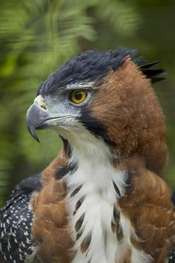 Ornate Hawk Eagle  (by San Diego Zoo Global): San Diego, Ornate Hawk, Hawks, Eagles, Birds, Animal