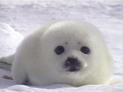 Please don't tangle me in these things!: Animals, Gift, Cute Seal, Beach, Beautiful Creatures, Baby Seals