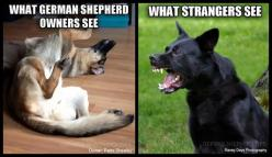 so true even with my Belgian Shepperd. people jump up like she is a maniac but it's just one silly teddy bear