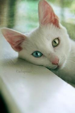 Some things are so beautiful they defy description.: Cats, Beautiful Cat, Animals, Cat Eyes, Pretty Cat, Kitty Kitty, Blue Eye, Green Eyes, White Cat