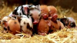 The Best Part about farming is raising the babies!  Baby KuneKune piglets