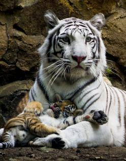 Tiger mummy: White Tigers, Big Cats, Animals, Bigcats, Beautiful, Baby, Wild Cats