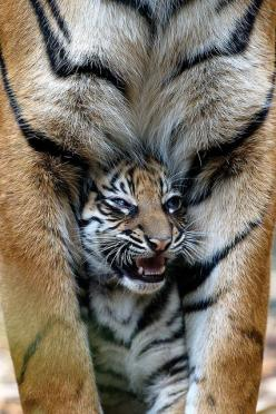 Tiger with a cub by studiouspanda88 on Flickr