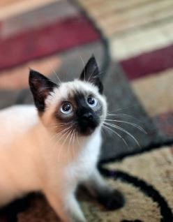 We are Siamese if you please......traumatized as a kid. Thanks lady and the tramp. Now I can't look at these cats without fear in my eyes.: Kitty Cats, Siamese Kitty, Animals, Siamese Cats, Siamese Kittens, Pet, Kitty Kitty, Eye
