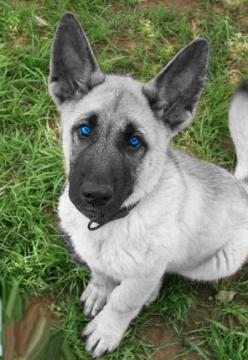 white german shepherd puppies with blue eyes for sale | Zoe Fans Blog: Animals With Blue Eyes, German Shepards, White German Shepard, Beautiful Eyes, White German Shepherd, German Shepherds, German Sheperd, Puppy