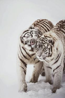 Winter Love - White tigers at Feline Park, France. By [Deadboxrunner]: White Tigers, Big Cats, Animals, Siberian Tiger, Nature, Bigcats, Beautiful, Snow Tiger, Wild Cats