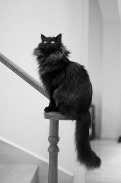 Wow...not sure what kind of gray kitten this is, but it's gorgeous!: Beautiful Kitty, Kitty Cats, Maine Coons, Animals, Beautiful Cats, Maine Coon Kittens, Kitty Kitty, Black Maine Coon Cat, Black Smoke