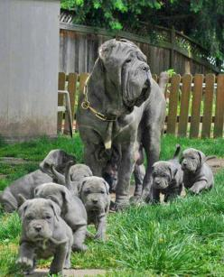 1011588_10201470811310006_742292337_n.jpg 582×720 pixels: Doggie, Mastiff Puppies, So Cute, Pet, Puppy, Neopolitan Mastiffs, Big Dogs, Neapolitan Mastiffs, Animal