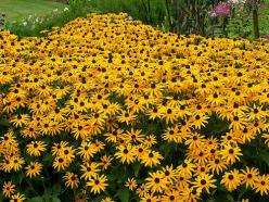 17 low maintenance perennial flowers for the garden: Planting Wildflowers, Perennial Wildflowers, Most Beautiful Flowers, Flower Seeds, Black Eyed Susans, Favorite Flower
