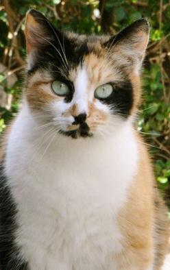"""""""A cat is Nature's beauty."""" --French Proverb: Kitty Cats, Beautiful Cats, Cats Calico, Beautiful Eyes, Calico Cats, Green Eyes, Aussiegirl Cats, Cats Kittens"""