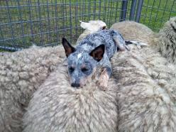 """Chooey"" an Australian Cattle Dog rescue in New South Wales, napping on fluffy sheep on her final day at the resuce before heading to her adoptive home.: Sheepdog, Sheep Dogs, Blue Heelers, Australian Cattle Dog, Funny Animal, Cattle Dogs, Countin"