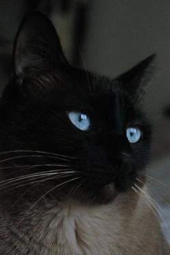 """He had a powerful kind of ache inside of him, half joy, half terrible sadness."" (JK Rowling): Kitty Cats, Beautiful Cat, Siamese Cats, Beautiful Blue, Black Cats, Beautiful Eyes, Blue Eyes, Cats Kittens"