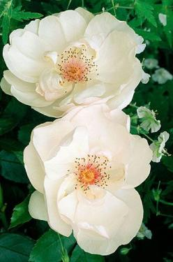 """Jaqueline Dupre"" white rose with red centers make her a real standout in the garden!: Beautiful Flower, White Rose, Garden Rose, Wild Rose, Gardening Flower, Rose Garden, Flowers Rose, Beautiful Rose"