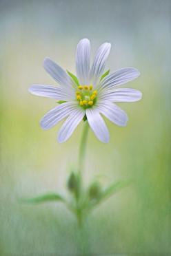 """Little Stitchwort"" by Jacky Parker    A single white spring flowering Greater Stitchwort flower - Stellaria holostea with soft texture added for a painterly feel.: Flowers Gardens Plants, White Flowers, Favorite Flowers, Flowers Plants, Beautiful"