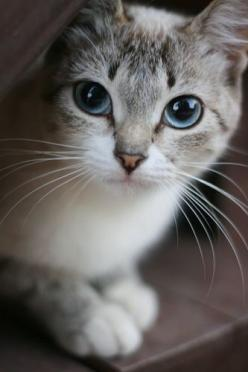 """""""One small cat changes coming home to an empty house to coming home."""" --Pam Brown: Kitty Cats, Beautiful Cat, Adorable Cat, Small Cat, Pretty Cat, Beautiful Eyes, Blue Eyes, Cats Kittens"""