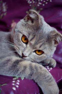 """""""Only cat lovers know the luxury of fur-coated, musical hot water bottles that never go cold."""" -Suzanne Millen-: Beautiful Cat, Grey Cat, Kitty Cat, Scottishfold, Cats Kittens, Kittycat, Animal"""