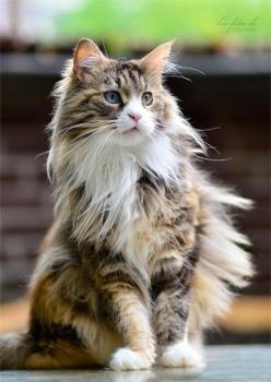 """Purring beside our fireplaces and pattering along our back fences we have got a wild beast as uncowed and uncorrupted as any under heaven."" --Alan Devoe: Cat S Meow, Kitty Cats, Maine Coons, Maine Coon Cats, Kitty Kitty, Cats And Kittens, Beautif"