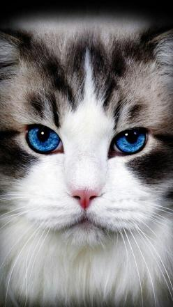 """She's got eyes of the bluest skies, as if they thought of rain. I'd hate to look into those eyes and see an ounce of pain."" --Axl Rose: Beautiful Cat, Cats Eyes, Beautiful Blue Eyes, Cats Blue Eyes, Cute Cat, Blue Eyes Cat, Pretty Cat, An"