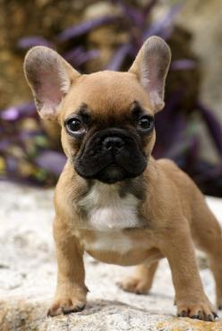 """* * """" WHERE IZ DAT DAMN CAT? I GONNA POUNCE ON IT LIKE A DUCK ON A   JUNE  BUG ! """": 3 French Bulldogs, Baby Frenchbulldog, I Frenchbulldogs, Fawn French Bulldog, French Bulldog Photography, French Bulldog Puppies"""