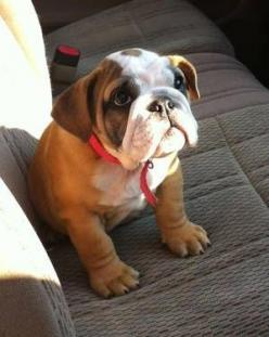 """You'll never walk alone, because I'll always be with you."": English Bulldog Puppies, English Bulldogs, Baby Bulldogs, Bullie Puppy, Bulldog Beauty, Puppy Going, Bull Dogs"