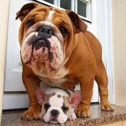 5 Adorable dog pictures of all times ~ The Pet's Planet: Doggie, French Bulldogs, English Bulldogs, Pet, French Bulldog Puppies, Bully S, Bull Dogs