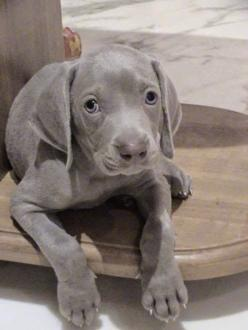 5 Unique Dog Breeds you never come across: Puppys, Dogs Puppies, Future Pet, Weimaraner Puppies, Weimaraner S, Beautiful Dogs