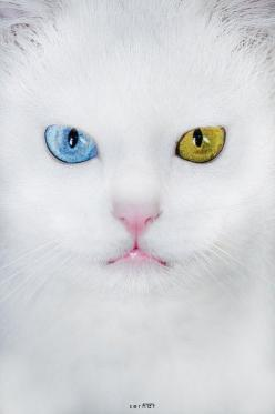 """A cat's worst enemy is a closed door."" — Unknown ## Heterochromia..beautiful!: Kitty Cat, Beautiful Cats, White Cats, Kitty Kitty, Amazing Eyes, Blue Eye, Green Eyes, Cats Kittens"