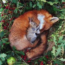 A sleeping fox curled up in a ball with a small rabbit cuddled up on top of it.: Animal Friendship, Sweet, Adorable Animals, Bunnie, So Cute, Odd Couples, Red Fox