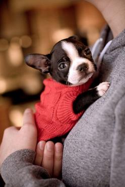 Adorable Boston Terrier puppy in a red sweater.: Red Sweaters, Boston S, Baby Boston, Boston Terriers, Boston Terrier Puppies