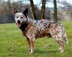 All About Blue Heeler Puppies | ... cattle dog that had a near perfect mixture of red roan and blue roan: Blue Heelers, Australiancattledogs, Australian Cattle Dog, Blue Red Heelers Friends, Cattle Dogs, Australian Cattledogs, Queensland Heeler