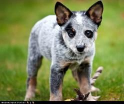 Australian Cattle Dog: Australian Cattle Dogs, Heeler Puppies, Animals Pets, Australian Cattledog, Blue Heelers, Dogs Puppies, Cattledog Puppy, Cow Dogs