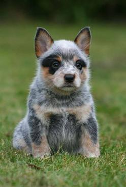 Australian Cattle Dog ✿⊱╮: Blue Healer, Blue Heelers, Australian Cattle Dog, Cattle Dogs, Heeler Pup