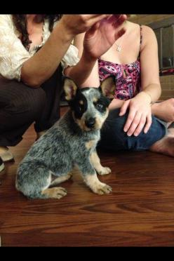 australian cattle dog - blue heeler   ...........click here to find out more     http://googydog.com: Australian Cattle Dogs, Blue Cattle Dog, Dogs Animal, Australian Dog, Heeler Dogs, Blue Heeler, Dogs Heelers