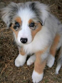 Australian Shepherd - An athletic dog that needs plenty of exercise.  Has a great deal of stamina and is agile, muscular and powerful.: Australian Shepard, Australian Shepherds, Aussie Puppies, Mini Australian Shepherd, Miniature Australian Shepherd