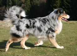 australian shepherd - That's how I like my australian shepherds (in general). Blue merle with tan and white, and with a full tail instead of the bob!: Australian Shepard, Bob, Aussies, Austrailian Shepard, Austrailian Shepherd, Australian Shepherd, Co