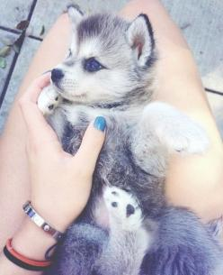 Awwww, my heart just melted. I think I'm gonna name it Megatron because its going to grow to be Mega big lol: Cute Animal, Cute Puppies, Adorable Animals, Baby Huskies, Baby Husky, Box, Cute Husky, Huskies Puppies