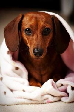 "Beautiful ""Doxie"" on her soft blankie. #dogs #pets #Dachshunds: Dachshund Dogs, Dachshund Dog Doxie, Dogs Puppy, Doxie S, Beautiful Doxie, Weiner Dogs, Wiener Dogs, Dachshund S"