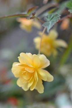 beautiful yellow roses: Yellow Flowers, Flowers Plants, Beautiful Flowers, Yellow Roses, Pretty Flower, Begonia Flower