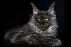 black smoke maine coon: Maincoon, Cats Cats, Beautiful Cat, Maine Coons, Black Cats, Main Coon, Coon Cats, Black Maine Coon, Animal