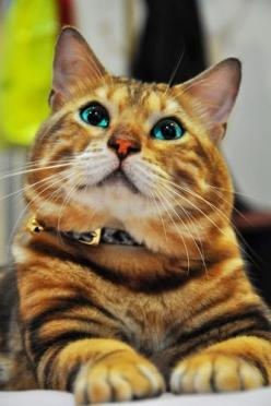 Blue eyed Bengal www.superstarpetservices.com: Bengal Cats, Kitty Cats, Big Cats, Beautiful Cats, Bengal Kitty, Cat Eyes, Blue Eye, Cats And Kittens