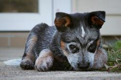 blue heeler!  i want this pup so bad. whatta a little bugger: Blue Heeler Puppy, Heeler Puppies, Herding Dog, Australian Cattle, Blue Heelers, Cattle Dogs, Acd, Animal